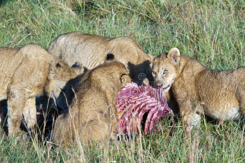 Lion pride feeding a zebra. Pride of lions eating a hunted zebra in the Serengeti, Tanzania. Mother and cubs feeding from the catch stock photography