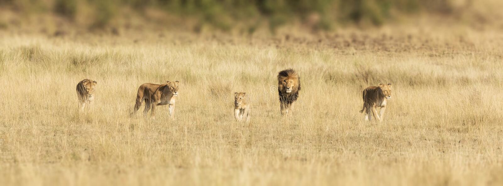 Pride of lions in the Masai Mara stock photography