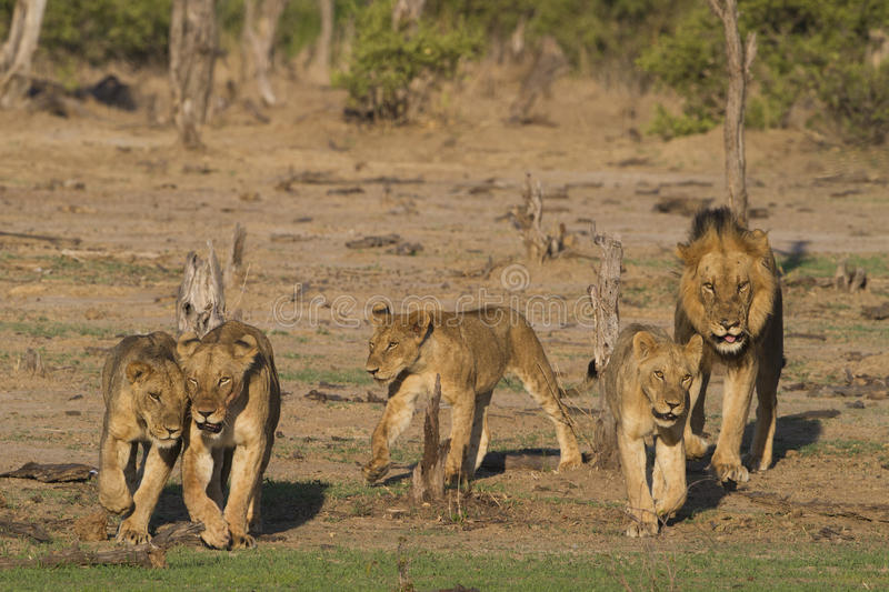 Pride of Lions on the move. Pride of Lions (Panthera leo) on the move stock image