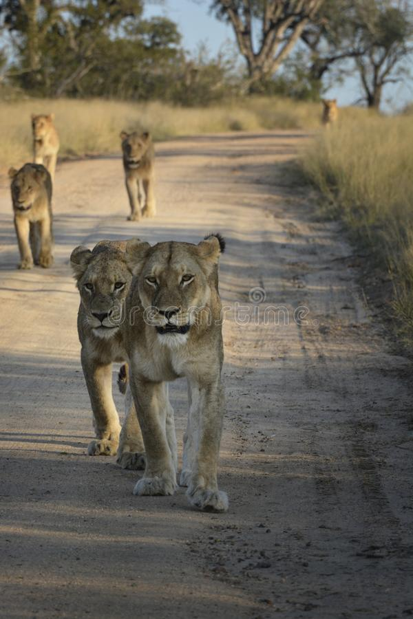 Pride of lions walking down a sand road royalty free stock photography