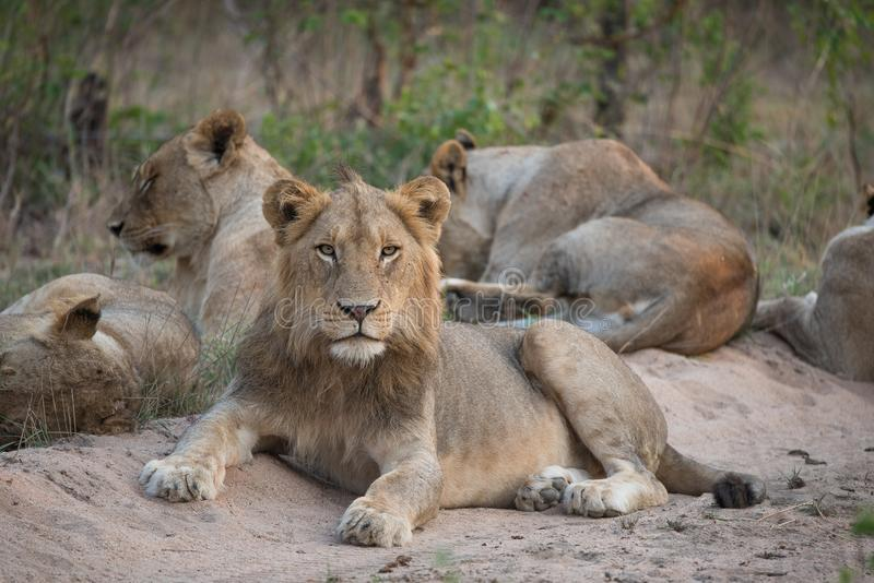 A pride of lions resting in the sand. A horizontal, surface level, full length, colour photograph of a lion pride and one young male lion, Panthera leo, resting stock photos