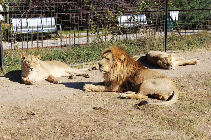 Pride of lions rests next to the bars of fence royalty free stock photography