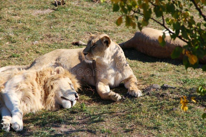 Pride of lions rests in safari park stock photos