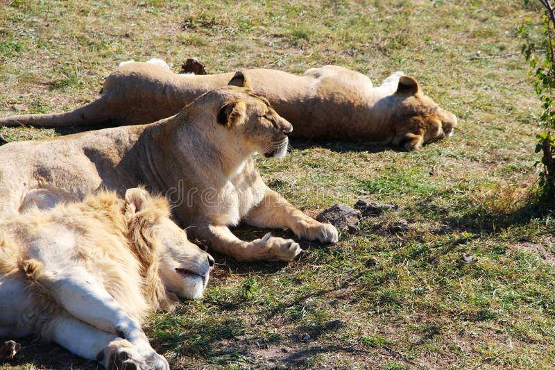 Pride of lions rests in safari park royalty free stock image
