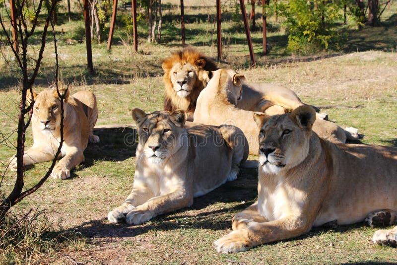 Pride of lions rests in safari park stock image