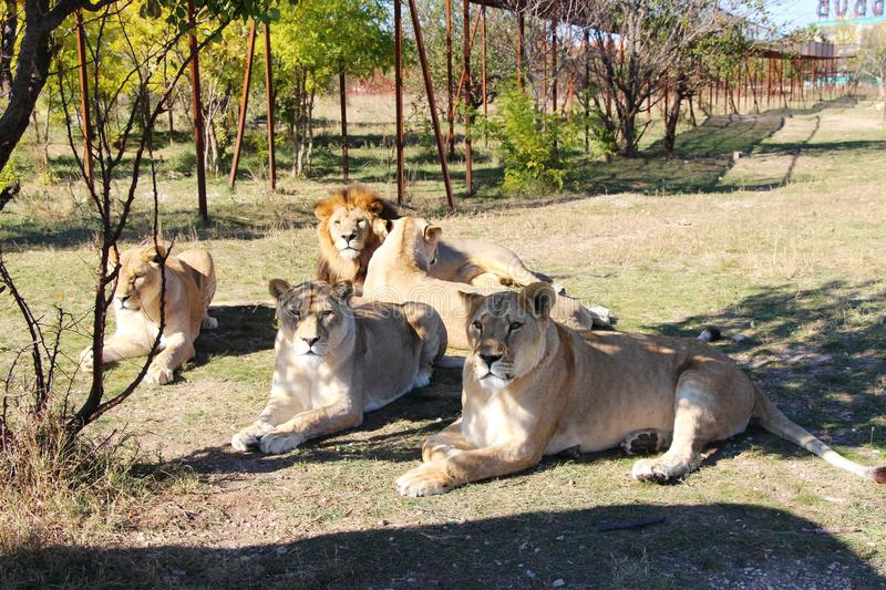 Pride of lions rests in safari park stock images