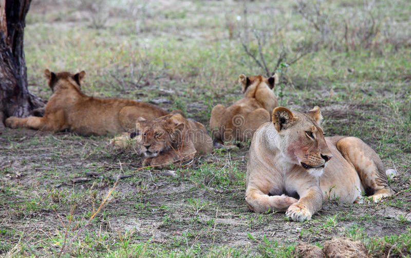Pride of lions in Serengeti stock photo