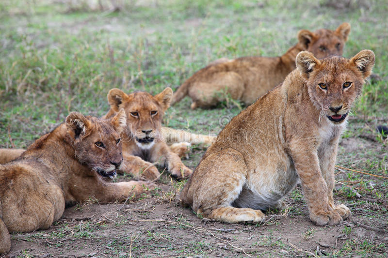 Pride of lions in Serengeti royalty free stock photos