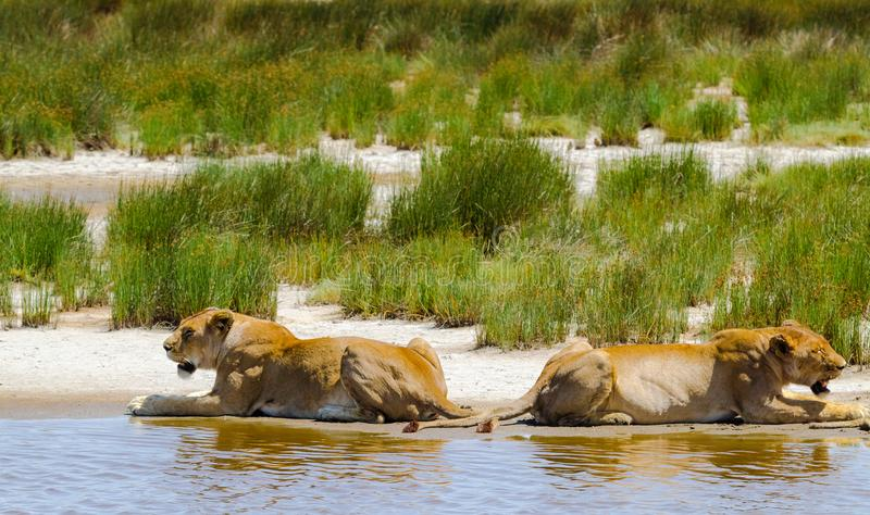 Pride of lions on shore of small pond. Serengeti, Africa royalty free stock images