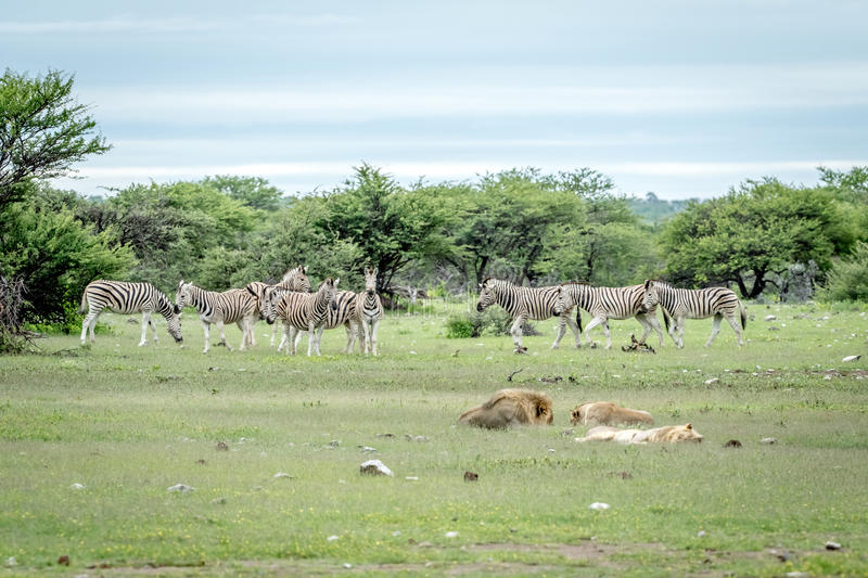 Pride of Lions sleeping in front of Zebras. stock photography