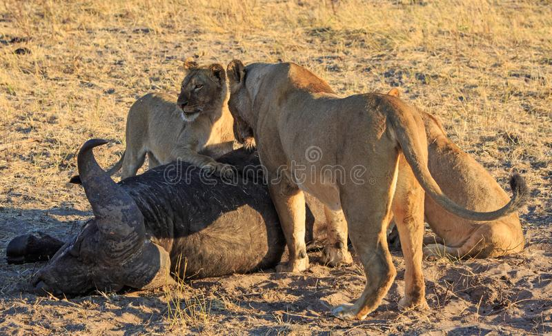 Pride of Lions standing over a recent kill, with the cubs paw resting on the carcass. royalty free stock photography