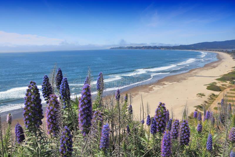 Pride of Madeira. California, United States - Stinson Beach. Pride of Madeira (Echinum fastuosum) shrub royalty free stock photos