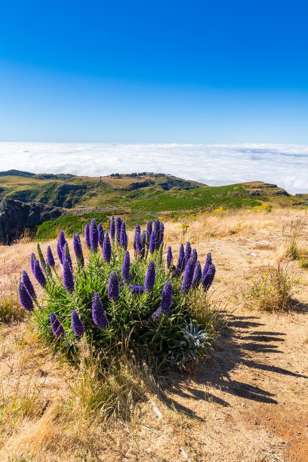 Pride of Madeira - Echium Fastuosum, Pico do Arieiro, Portugal, Europe.  stock images