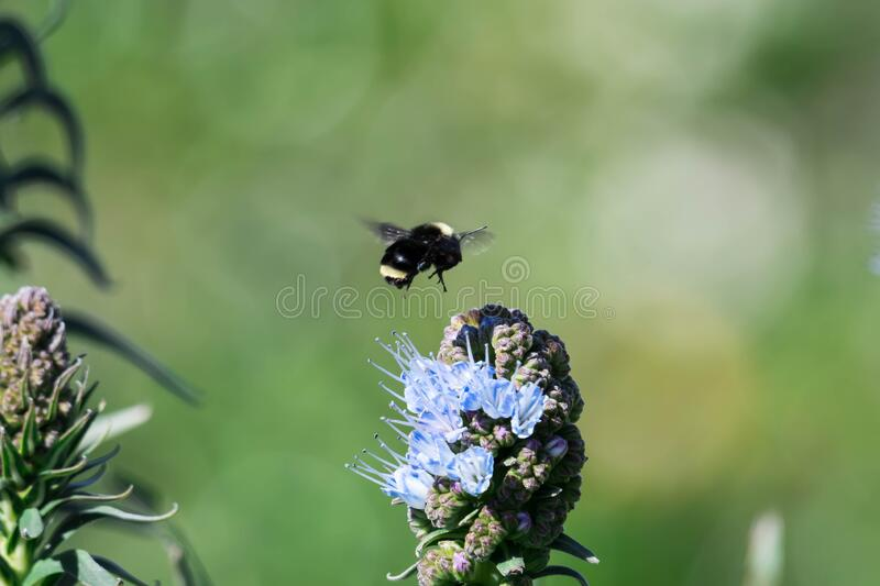 Pride of madeira flower close up shot with blurry Bumble bee flying and eating it`s nectar.  royalty free stock photo