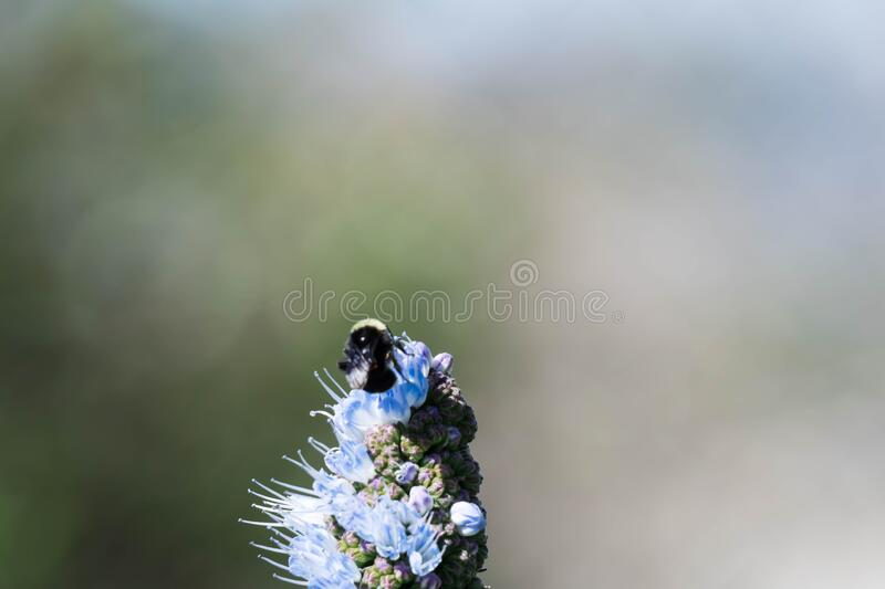 Pride of madeira flower close up shot with blurry Bumble bee flying and eating it`s nectar.  stock photography