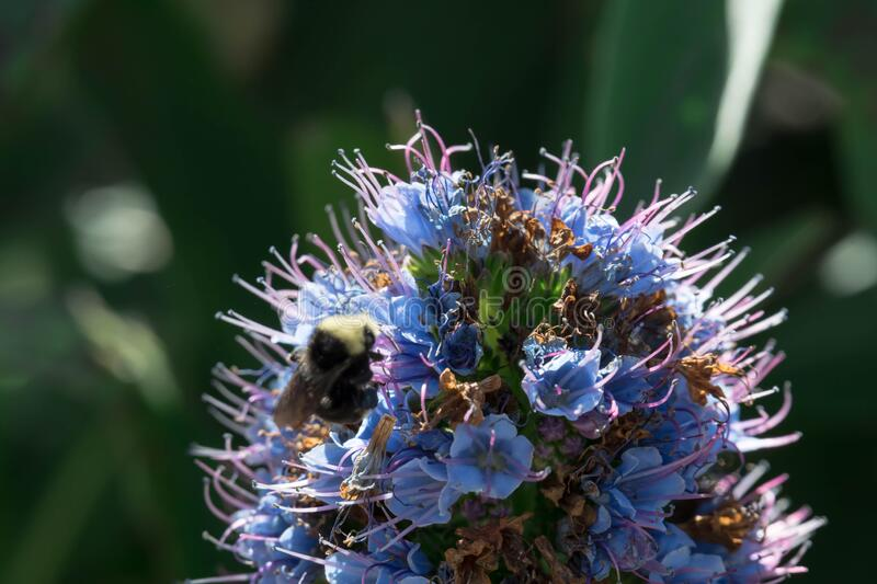 Pride of madeira flower close up shot with blurry Bumble bee flying and eating it`s nectar.  stock image