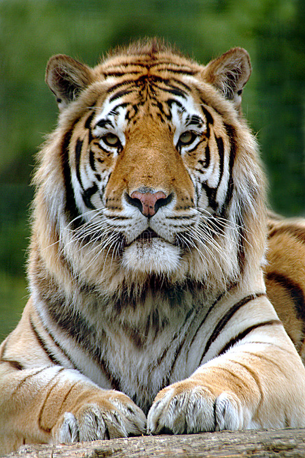 Download Pride and power stock image. Image of specie, endangered - 11587