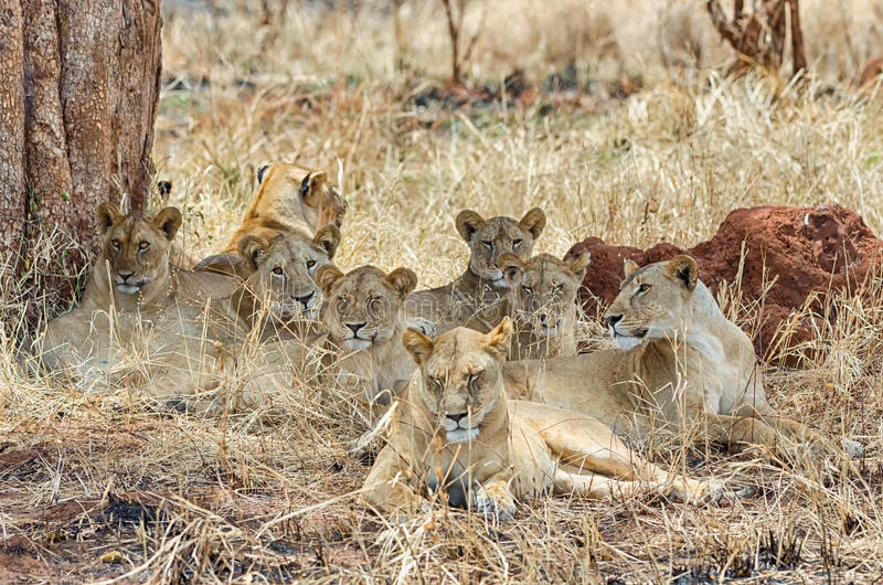 Pride of six lions, Tarangire National Park, Manyara, Africa royalty free stock photography