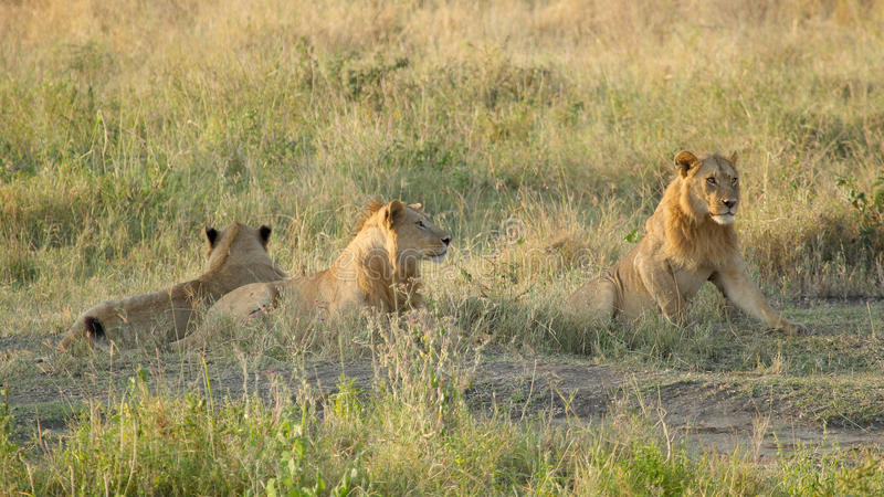 Pride of young male lions. A pride of young male lions, Panthera Leo, resting at the shadow of a tree in Serengeti National Park, Tanzania stock image