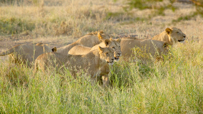 Pride of young male lions ready for the hunt. A pride of young male lions, Panthera Leo, is moving for the hunt in Serengeti National Park, Tanzania stock photos