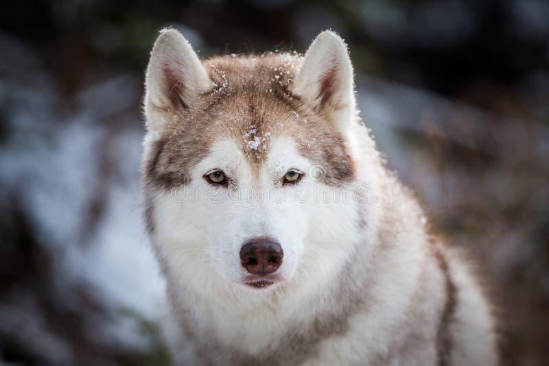 Prideful en wijze Siberische Schor hondzitting op de sneeuw voor spar in het de winterbos royalty-vrije stock fotografie