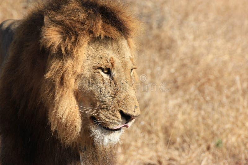 Prideful lew zdjęcia stock