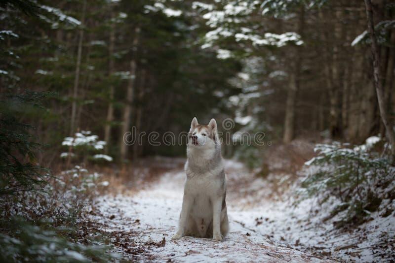 Prideful Siberische schor hondzitting op de sneeuwweg in het bos in de winter op sparrenachtergrond Het portret van het profiel royalty-vrije stock fotografie