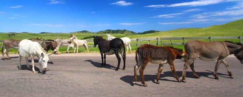Prier des Burros Custer State Park photos libres de droits