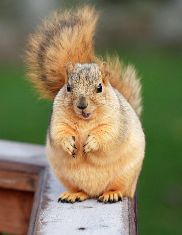 Prier mignon d'écureuil photo stock