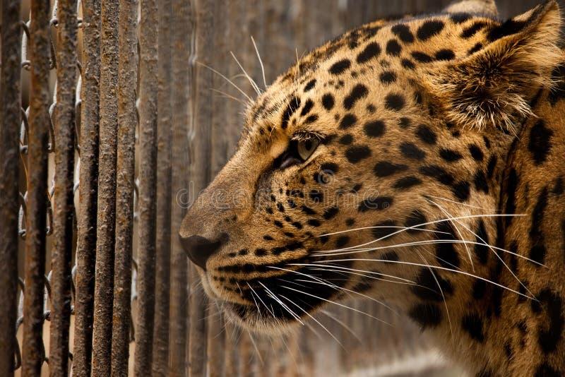 Prigione per il leopardo fotografia stock