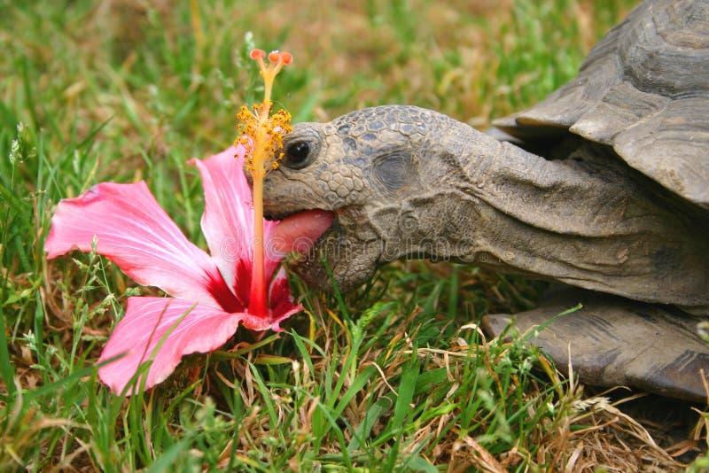 Prima colazione del Tortoise fotografia stock libera da diritti