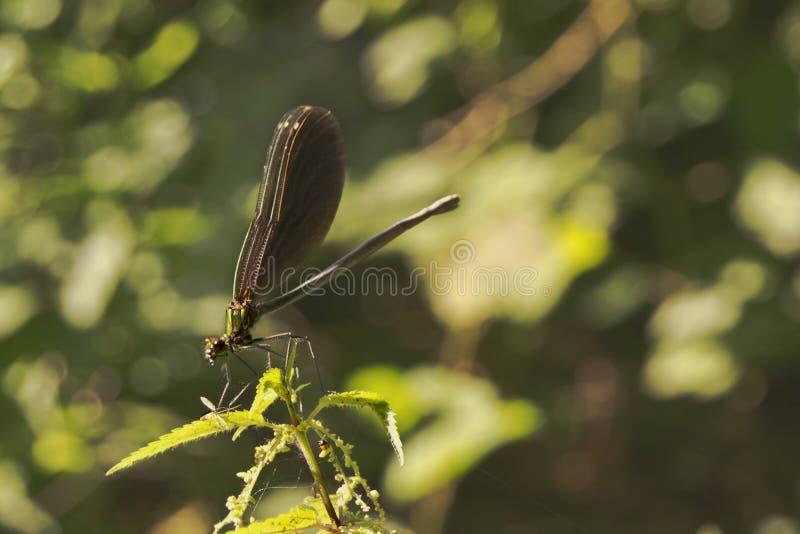 Prima colazione della libellula immagini stock libere da diritti