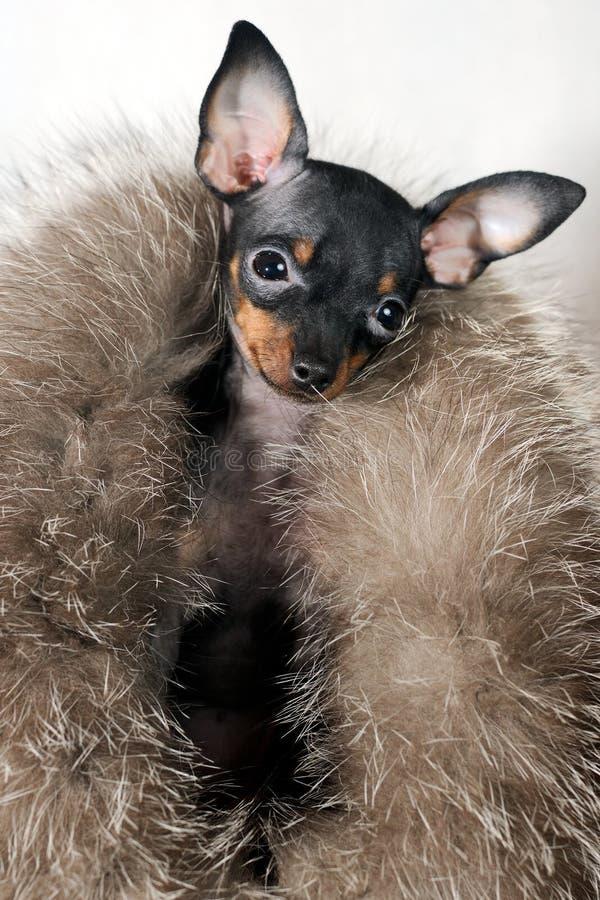 Prima Donna en fourrures - chiot russe de terrier de jouet photographie stock libre de droits