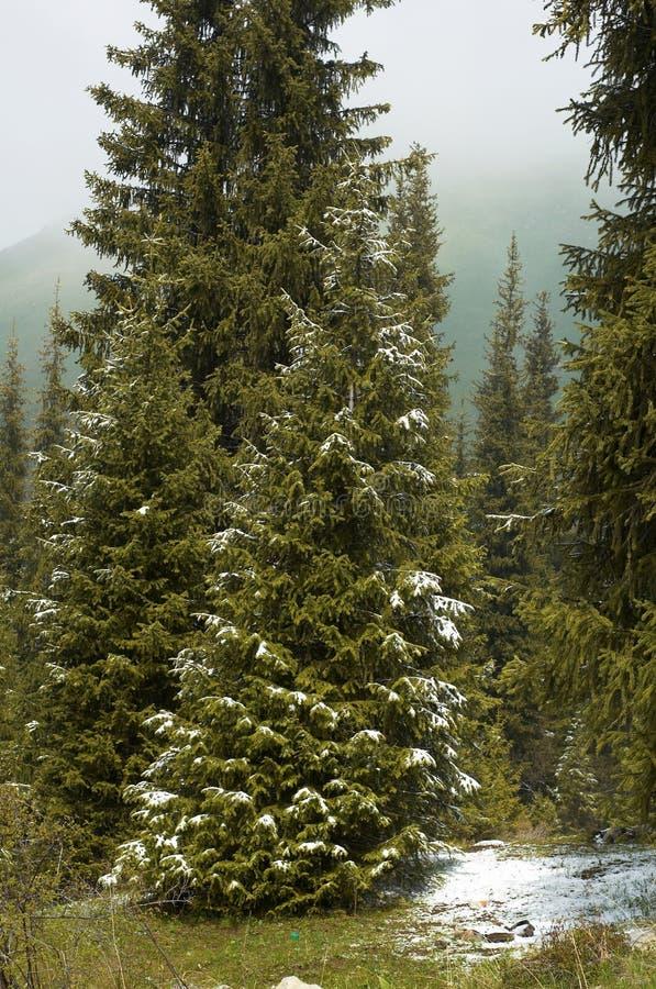 Prima neve sulla foresta della montagna fotografia stock libera da diritti