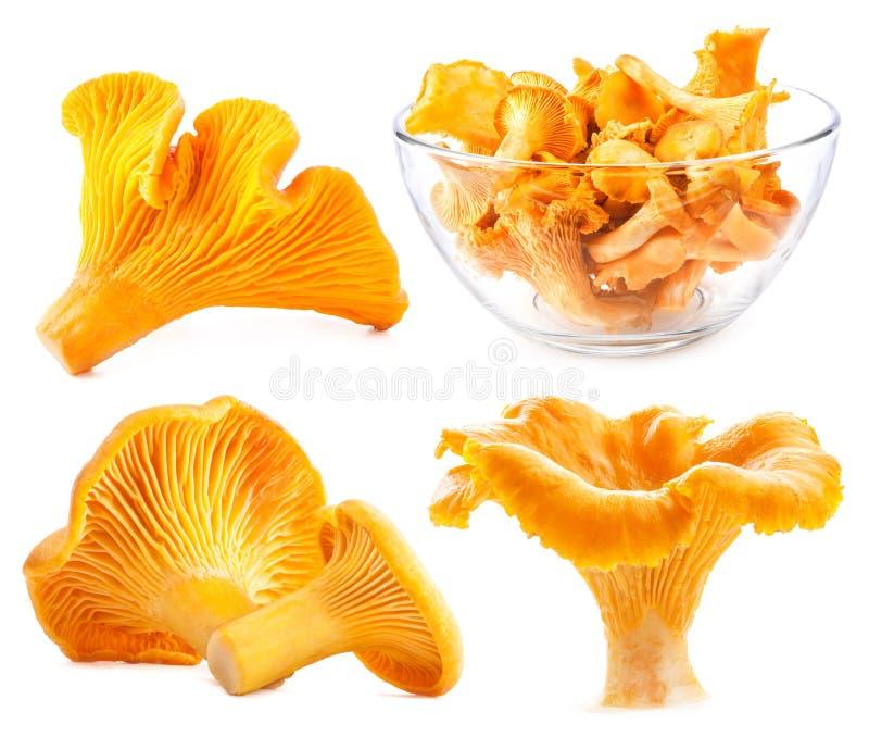 Prima selvagem comestível do cogumelo imagem de stock