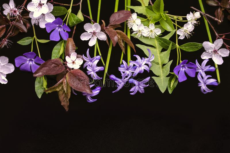 Prima vinca delle angiosperme, giacinti, prugne di fioritura con i fiori di ciliegia su un fondo nero immagini stock