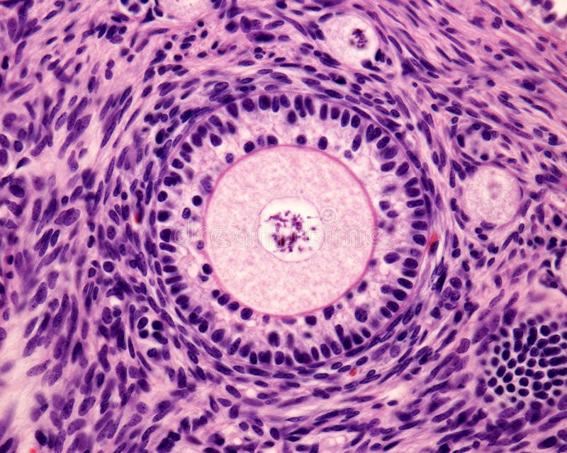 Primary ovary follicle. Light microscope micrograph of an ovary. Primary follicle with a big round ovocyte surrounded by the zona pellucida and two layers of stock images