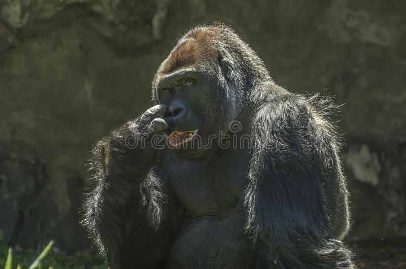 Primat de gorille images stock