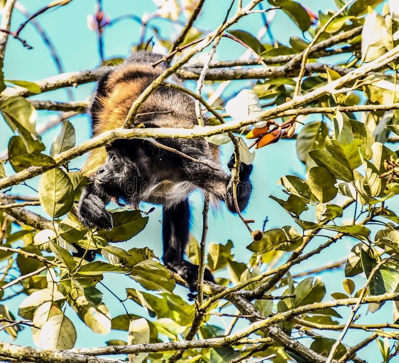 primat de singe de capucin, dans la r?gion Costa Rica Am?rique Centrale de volcan d'Arenal photographie stock