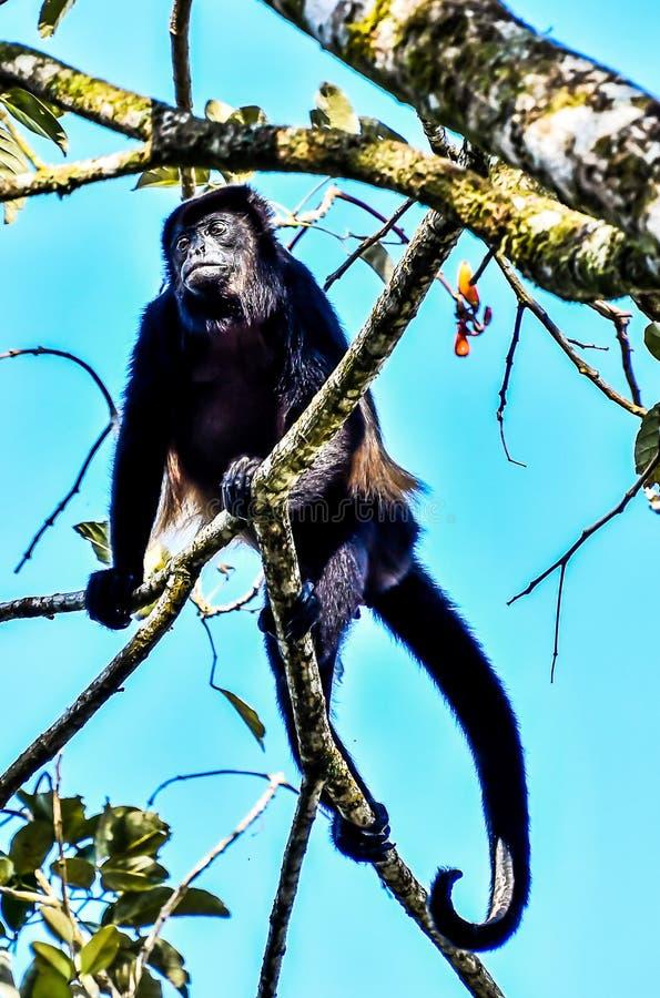 primat de singe de capucin, dans la r?gion Costa Rica Am?rique Centrale de volcan d'Arenal photos libres de droits