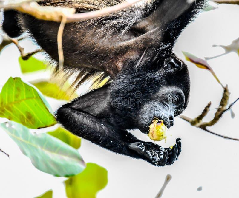 primat de singe de capucin, dans la r?gion Costa Rica Am?rique Centrale de volcan d'Arenal photo stock