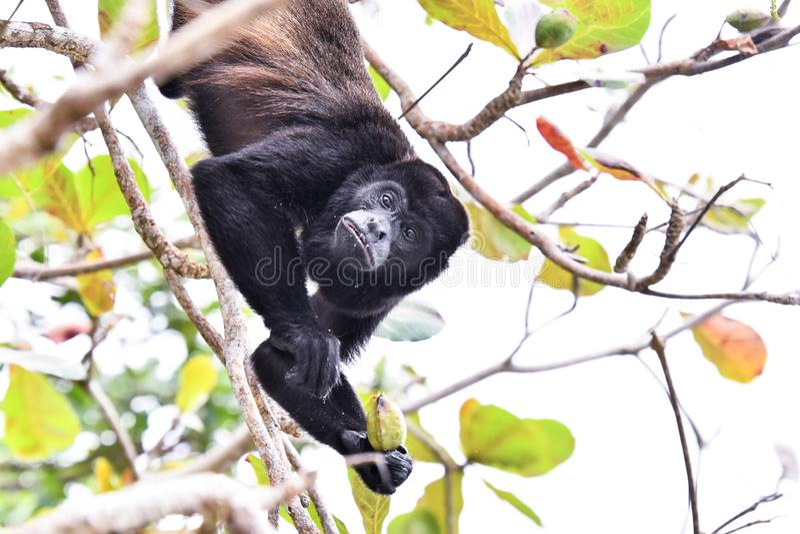 primat de singe de capucin, dans la r?gion Costa Rica Am?rique Centrale de volcan d'Arenal photos stock