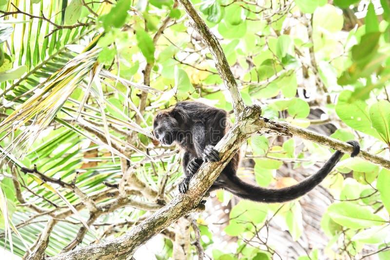 primat de singe de capucin, dans la r?gion Costa Rica Am?rique Centrale de volcan d'Arenal photographie stock libre de droits