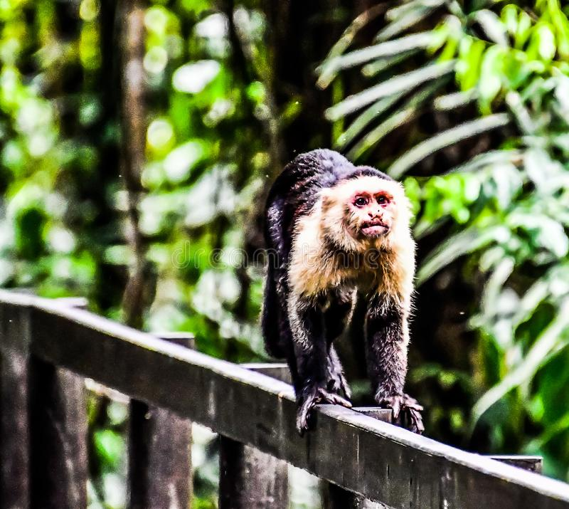 primat de singe de capucin et fils de b?b?, dans la r?gion Costa Rica Am?rique Centrale de volcan d'Arenal photos stock