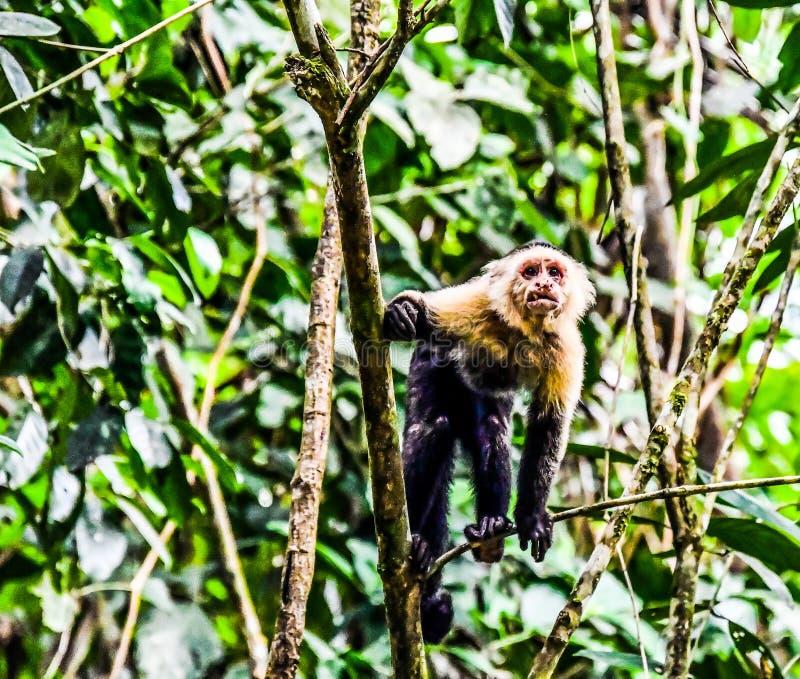 primat de singe de capucin et fils de b?b?, dans la r?gion Costa Rica Am?rique Centrale de volcan d'Arenal photo libre de droits