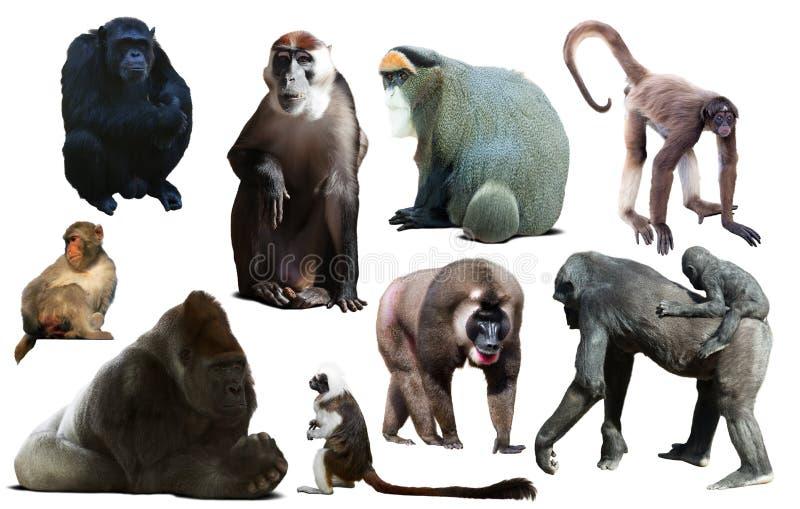 Primat som isoleras på vit royaltyfri bild