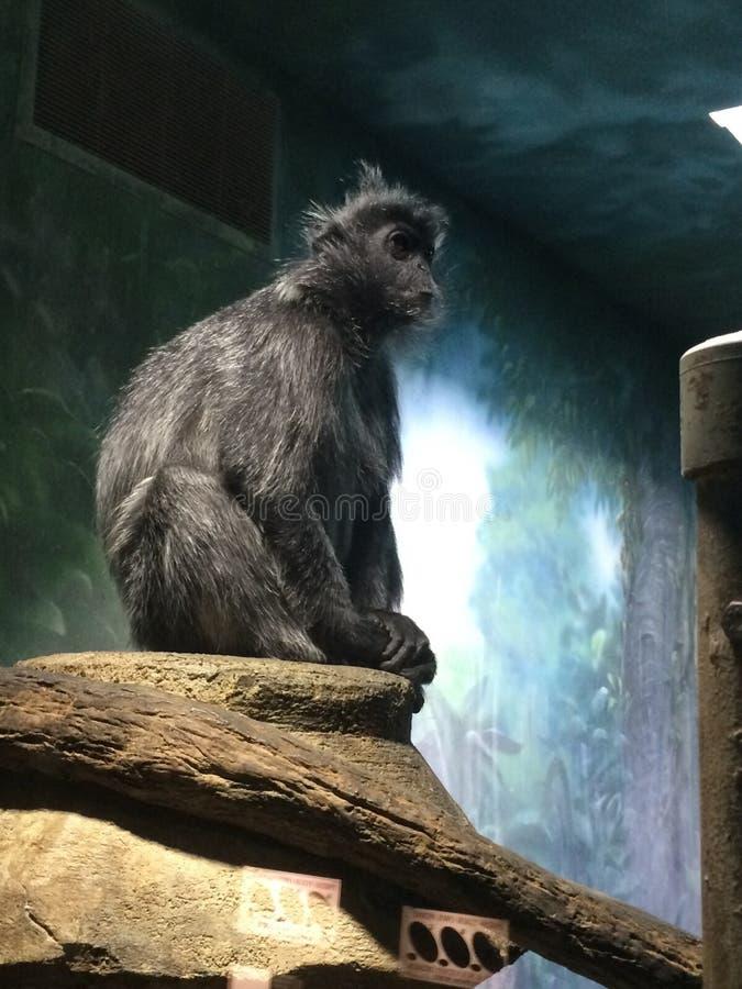 Primata quieto fotografia de stock