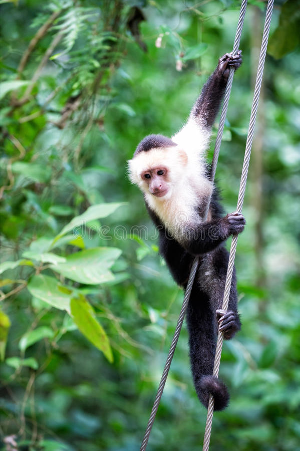 Primate animal hanging on cable in rainforest of Honduras. Primate animal or monkey hanging on cable in rainforest of Honduras on sunny summer day on green royalty free stock images
