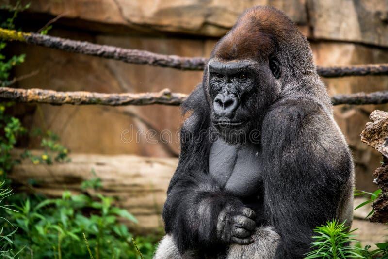 Primate del gorila foto de archivo libre de regalías
