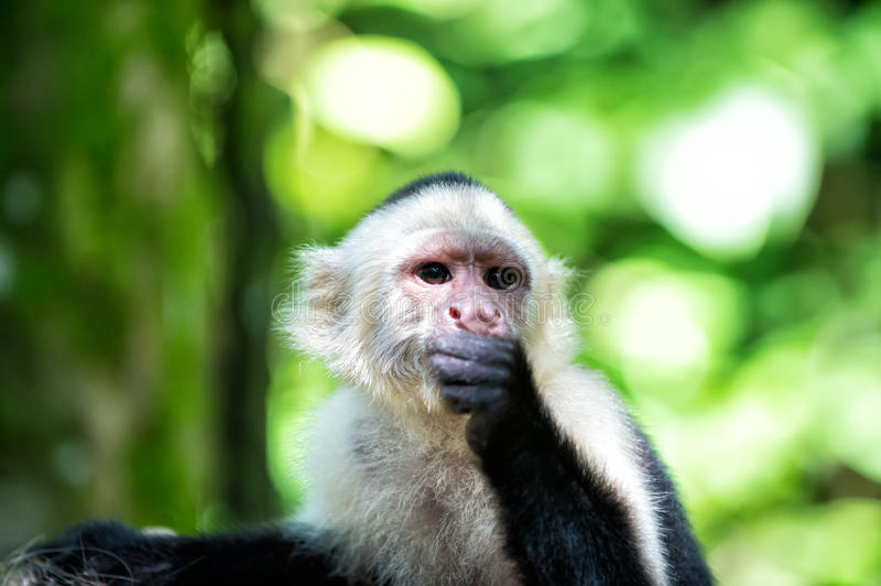 Primate in jungle on sunny day. Wild animal on blurred natural background. Wildlife and nature concept. Monkey resting in rainforest of Honduras. Capuchin with royalty free stock photo